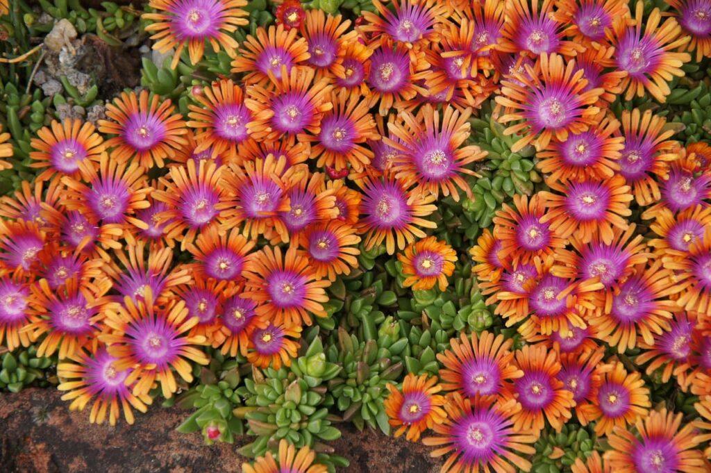 flores de suculenta planta de hielo - Carpobrotus chilensis