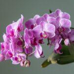 Orquideas phalaenopsis vara floral