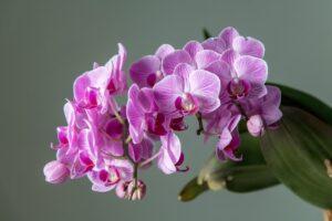 Orquidea phalaenopsis vara floral