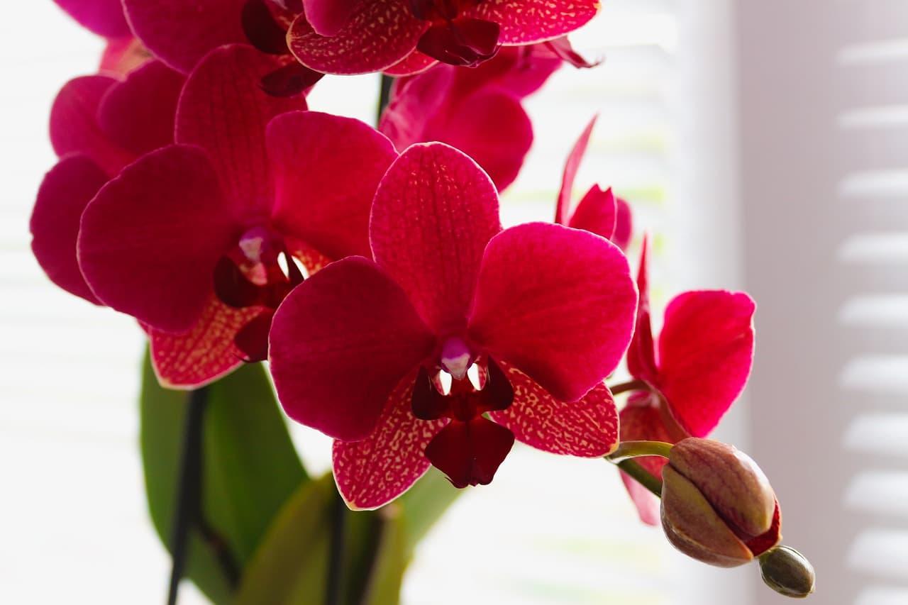 orquídea phalaenopsis roja