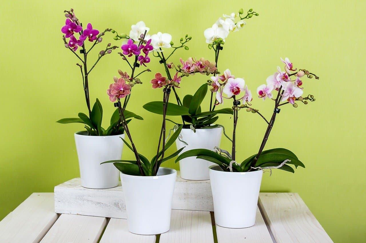 colores de orquídeas phalaenopsis