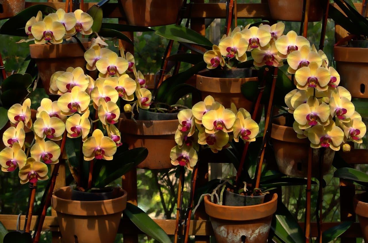 orquídeas phalaenopsis en maceta