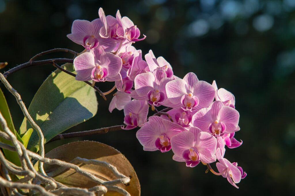 rama en floración de orquídeas phalaenopsis