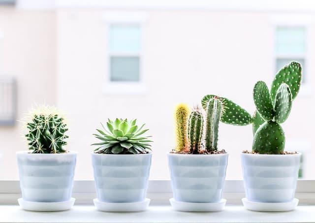 Cactus y suculentas en maceta