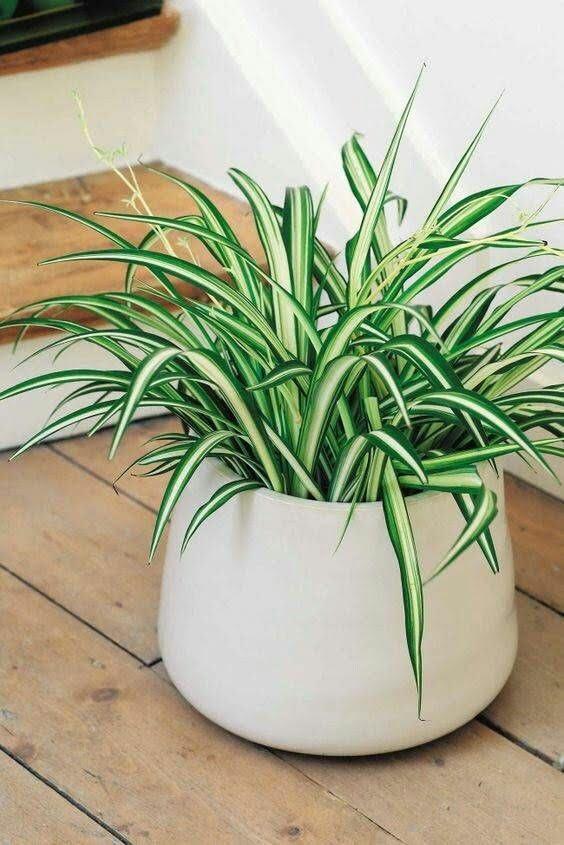 Malamadre planta también conocida como Cinta o Listón