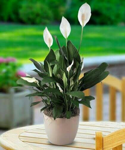 Cuna de Moisés (Spathiphyllum) en base de cerámica color blanco