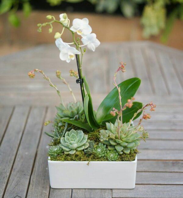 Orquídea phalaenopsis y suculentas