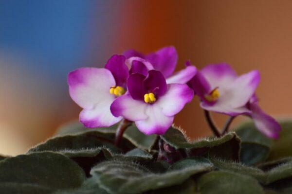 violetas africanas en maceta