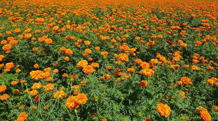 """La flor de Cempasúchil simboliza el Día de Muertos en México, es uno de los elementos más representativos de las ofrendas para estas celebraciones, es originaria de México, su nombre proviene del náhuatl """"Cempohualxochitl"""" que significa """"veinte flores"""" """" varias flores"""" o """"flor de 20 pétalos""""."""